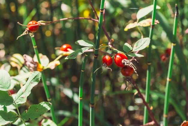 Fine matura della frutta del cinorrodonte su. la rosa canina si sviluppa con l'equiseto sulla natura del bokeh. trattamento a base di erbe. boschetto di equiseto. cespuglio di radica selvaggia con le anche con lo spazio della copia.
