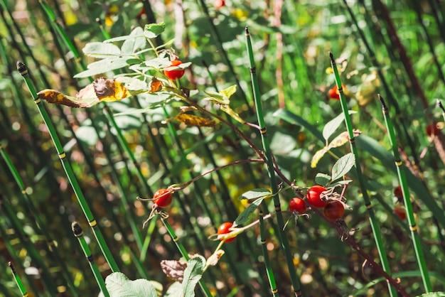 Fine matura della frutta del cinorrodo su. la rosa canina cresce con l'equiseto su bokeh. trattamento a base di erbe. equiseto. cespuglio di radica selvaggia con le anche con copyspace.