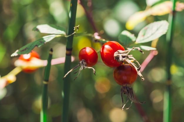 Fine matura della frutta del cinorrodo su. la rosa canina si sviluppa con l'equiseto sulla natura del bokeh. trattamento a base di erbe. boschetto di equiseto. cespuglio di radica selvaggia con le anche con lo spazio della copia.