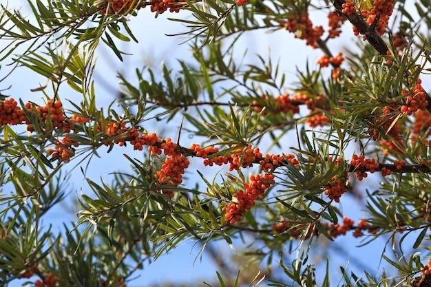 Frutto maturo dell'olivello spinoso sui rami di un albero