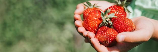 Fragole mature nelle mani della ragazza di un bambino su una fattoria biologica di fragole, persone che raccolgono fragole nella stagione estiva, frutti di bosco.