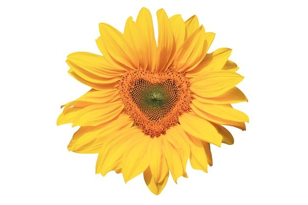 Girasole maturo con petali gialli e mezzo scuro