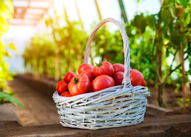 Pomodori maturi nel cestino sulla superficie di una serra e di un giardino