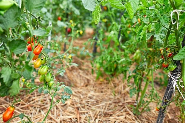 Pomodori maturi in giardino, verdura rossa fresca che appende sulla produzione vegetale organica del ramo,