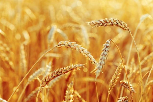 Grano maturo in uno sfondo di campo agricolo