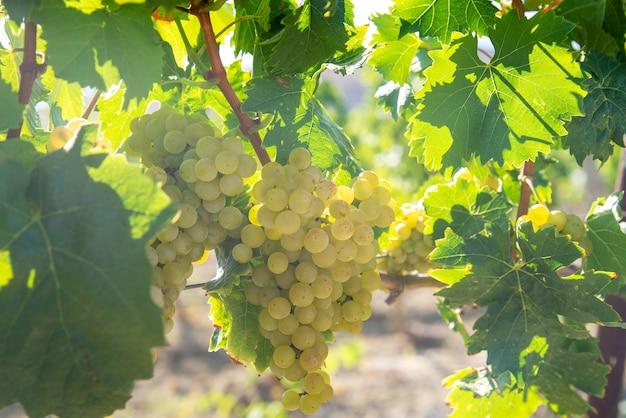 Uva bianca matura in vigna sotto i raggi del sole splendente
