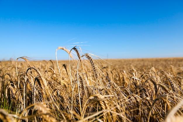 Cereali gialli maturi - campo agricolo su cui crescono cereali maturi ingialliti