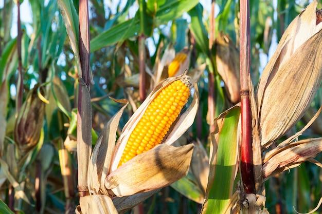 Giallo maturo pannocchia di mais su un campo agricolo prima del raccolto, autunno, primo piano