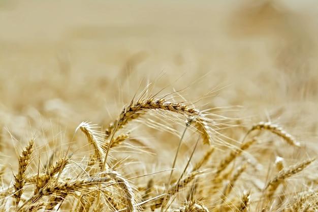 Spighe di grano gialle mature su un campo di sfondo