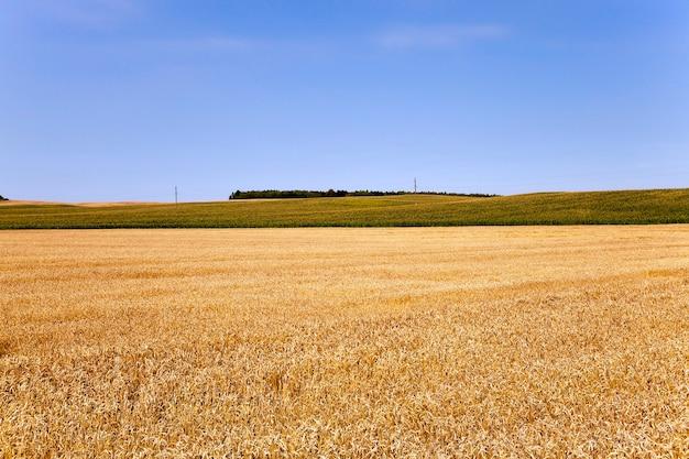 Cereali maturi - campo agricolo su cui crescono pronti a raccogliere cereali gialli maturi