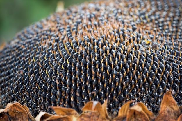 Girasole maturato con semi neri, ottenendo un raccolto di semi per uso industriale