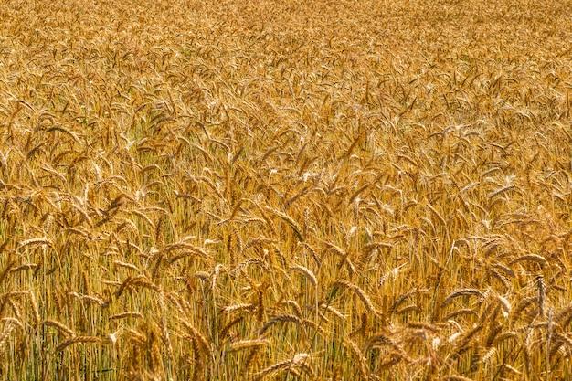 Spighe di maturazione del campo di grano di prato. bellissimo paesaggio di campo.