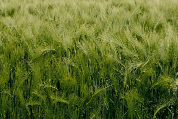Spighe di maturazione del campo di grano del prato. concetto ricco di raccolto. spighe di grano verde da vicino.