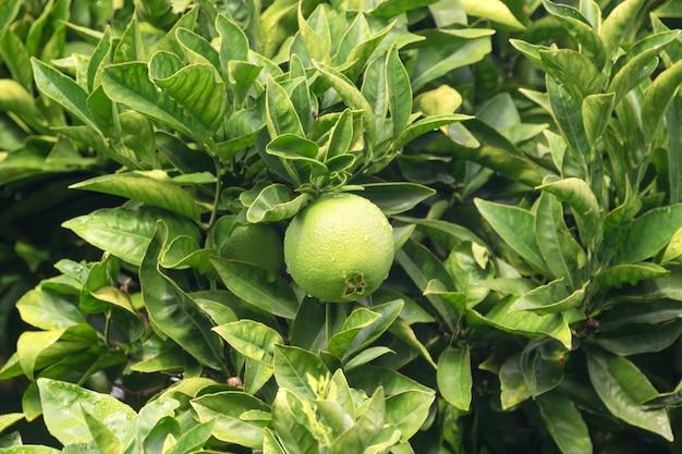 Fine di maturazione del limone o di limetta di frutti su. limette verdi fresche con le gocce di acqua che appendono sul ramo di albero in giardino organico