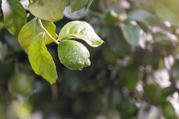 Fine di maturazione del limone di frutti su. limetta verde fresca del limone con le gocce dell'acqua che appendono sul ramo di albero in giardino organico