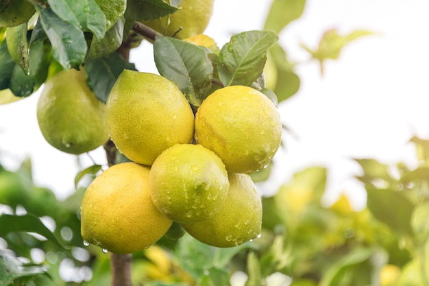 Fine di maturazione del limone di frutti su. limette verdi fresche con le gocce di acqua che appendono sul ramo di albero in giardino organico