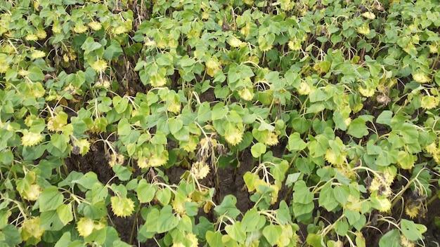 Maturazione dei girasoli nel campo dell'agricoltura. steli verdi di girasole esagerato.