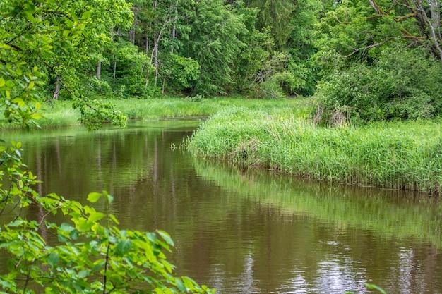 La riva del fiume è ricoperta di canne. foresta. ansa del fiume ogre. la natura della lettonia.