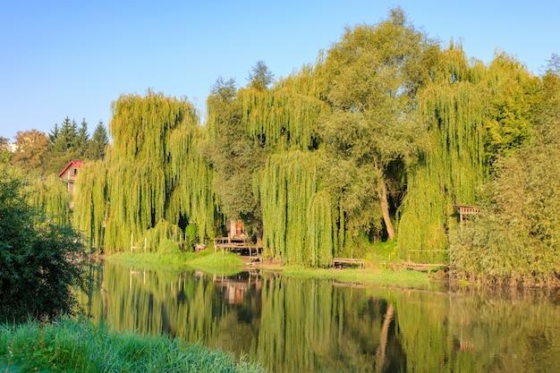 Riva del fiume ricoperta di vecchi salici alti nella soleggiata mattina d'autunno. paesaggio fluviale