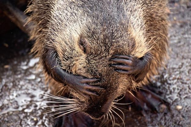 Lontra di fiume con colore marrone scuro, zampe corte e coda lunga