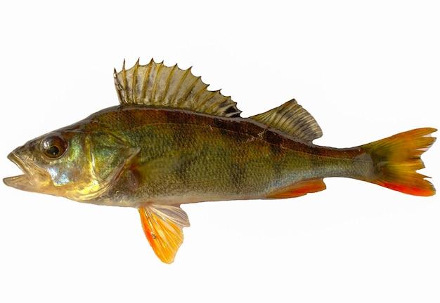 Pesce persico del fiume isolato su bianco. capanna di pesce.