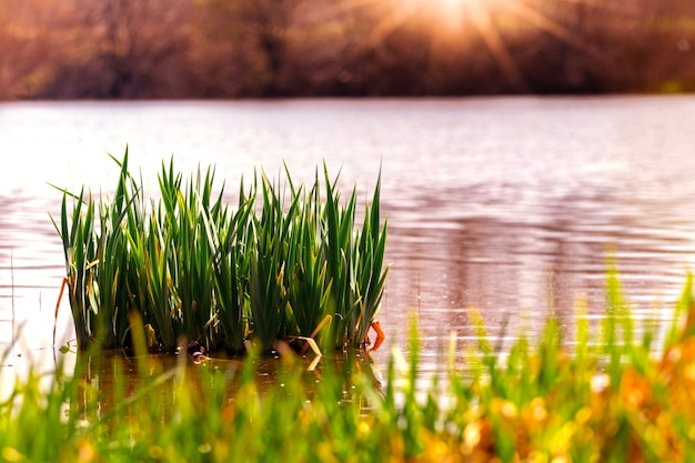 Fiume con canne ed erba sulla riva al tramonto