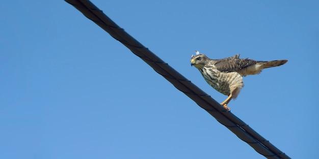 Falco lungo la strada, o gaviao carijo, su filo elettrico