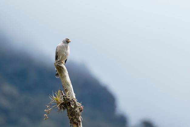Falco stradale (rupornis magnirostris) imponente esemplare di busardo appollaiato sul tronco a guardare la sua preda Foto Premium