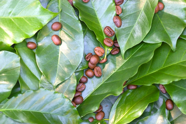 Chicchi di caffè tostati su uno sfondo di foglie di caffè verde fresco