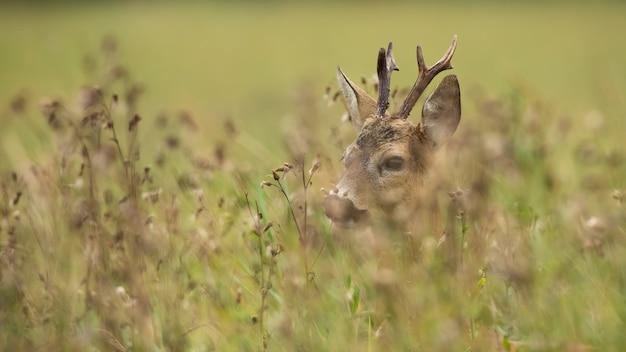 Buck di capriolo nascosto in un'erba alta e verde su un prato