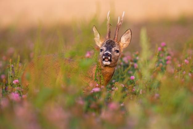 Il capriolo maschio annusa con il naso su un campo illuminato dal sole del mattino in estate