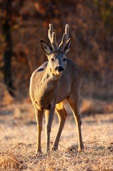 Buck di capriolo in piedi sul prato in inverno