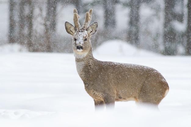 Dollaro di capriolo che cammina nella neve profonda in inverno