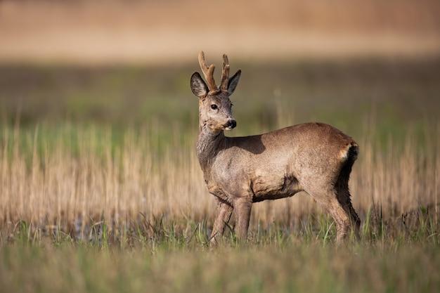 Il capriolo buck con nuove corna che crescono in piedi su un prato in primavera la natura