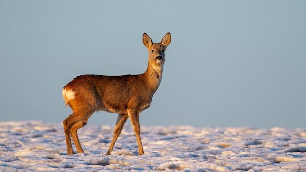 Capriolo, capreolus capreolus, doe in piedi sul prato nella natura invernale. mammifero femminile che osserva sul pascolo nevoso con lo spazio della copia. animali selvatici che guardano sul campo bianco.