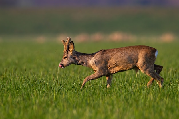 Capriolo, capreolus capreolus, con nuovi palchi in crescita avvolti in velluto camminando sull'erba. capriolo marrone che lecca sul campo verde in primavera. mammifero selvaggio che va al pascolo.