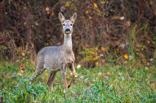 Capriolo daino in autunno che si muove in avanti con la gamba in aria.