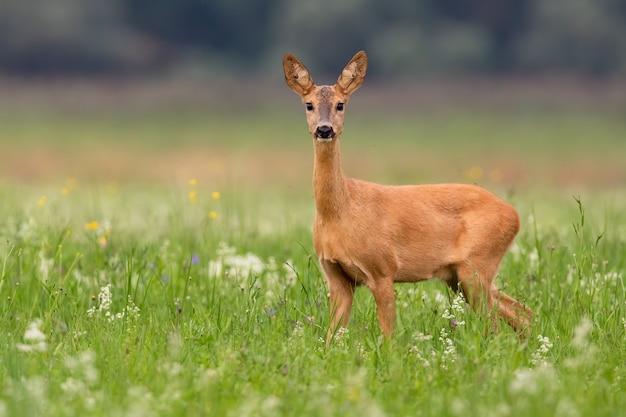 Il capriolo guarda la telecamera sull'erba in estate