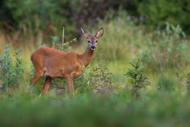 Capriolo daino guardando la telecamera vicino al cespuglio verde nella natura estiva