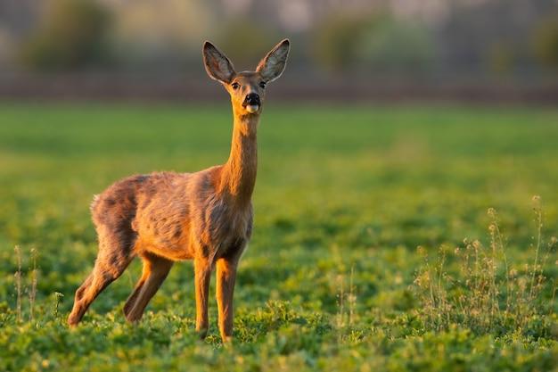 Capriolo che guarda la radura verde alla luce del sole primaverile