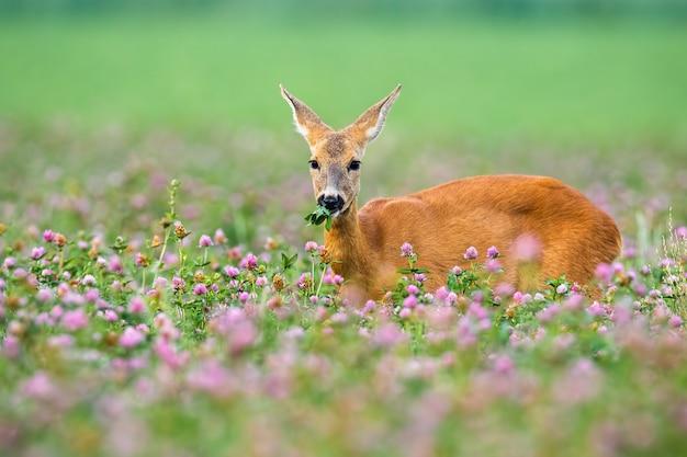 Daina dei caprioli che sta nel trifoglio con i fiori di fioritura.