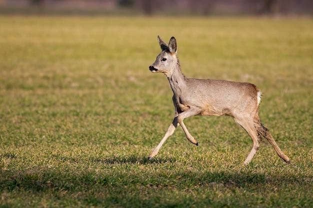 Femmina di capriolo che corre da sola sul prato verde in primavera