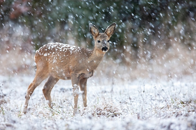 Capriolo guardando sul campo durante la nevicata in inverno