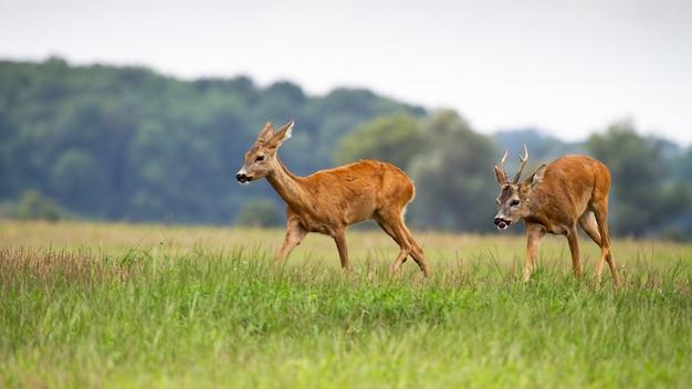 Maschio seguente dei caprioli che segue femmina nella stagione rutting sul prato.