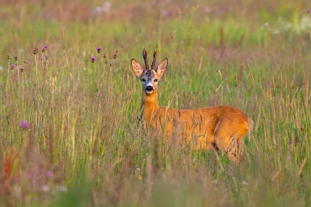 Maschio di capriolo in piedi nell'erba alta durante l'ora d'oro in estate