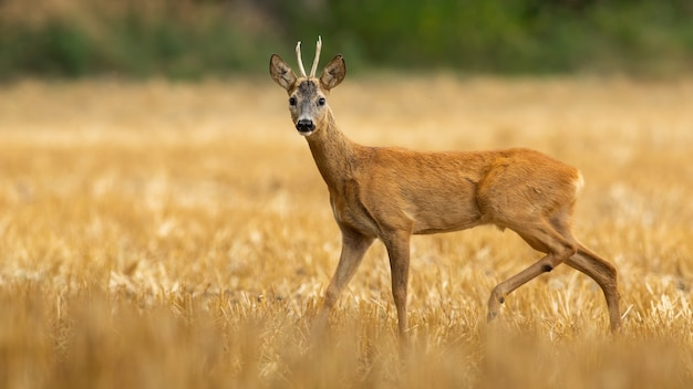 Maschio di capriolo con piccole corna in piedi sul campo di stoppie secche in estate