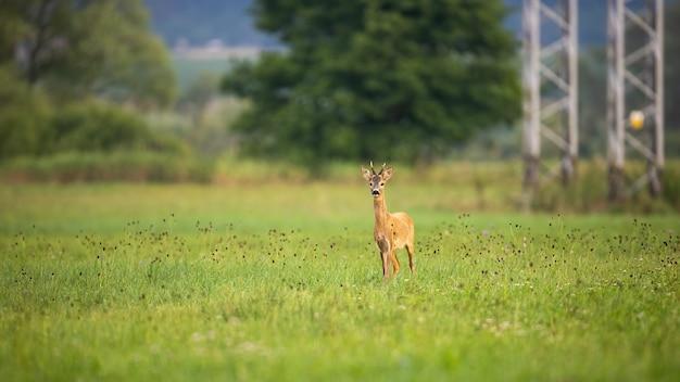 Capriolo che si muove sull'erba accanto alla torre elettrica in estate