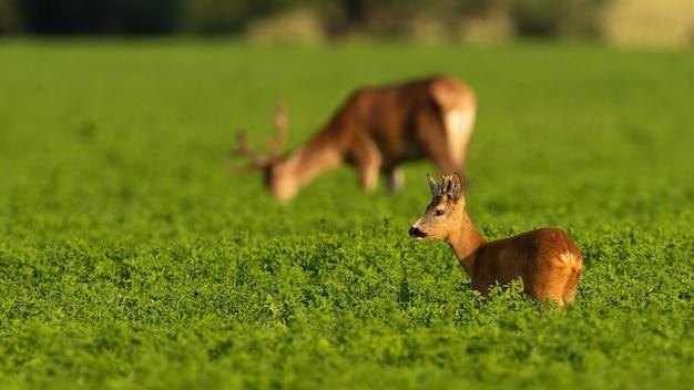 Capriolo e cervo al pascolo nel trifoglio nella luce estiva