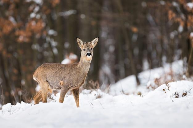 Capriolo in piedi nella foresta nella natura invernale.