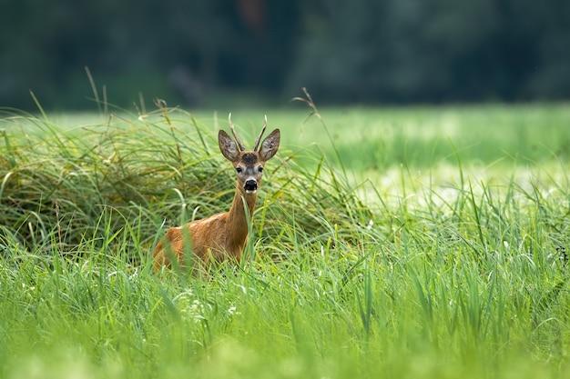 Capriolo in piedi nell'erba lunga nella natura estiva